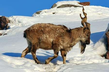 Винторогий козел в Таджикистане