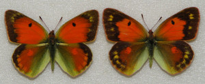 Бабочки желтушки Таджикистана - Colias romanovi