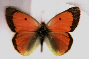 Бабочки желтушки Таджикистана - Colias thisoa aeolides