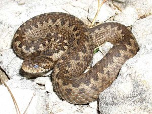 Змеи Таджикистана. Гюрза