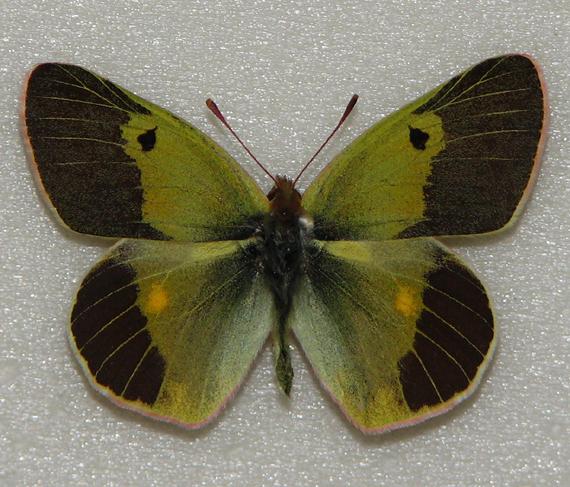 Бабочки Таджикистана - Colias Wiskotti
