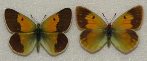 Бабочки желтушки Таджикистана - желтушка Вискотта (Colias wiskotti Stgr.)
