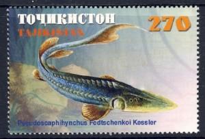 Сырдарьинский лжелопатонос (Pseudoscaphirhynchus fedtschenkoi)