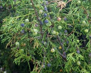 Можжевельник полушаровидный (Можжевельник шугнанский) (Juniperus semiglebosa)