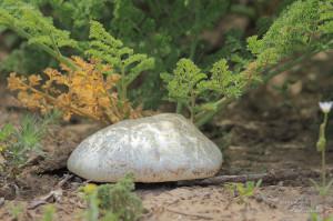 Вёшенка степная (Pleurotus eryngii)