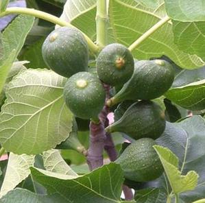 Тутовые растения Таджикистана - Инжир (Ficus carica)