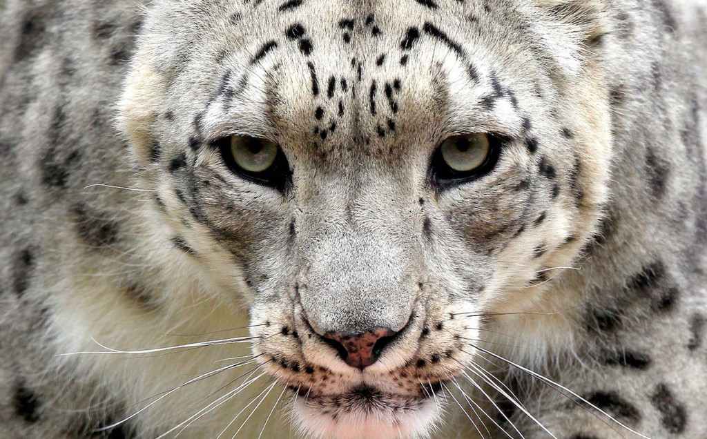 Животный мир Таджикистана - Снежный барс