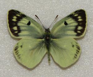 Бабочки желтушки Таджикистана - Colias alpherakyi