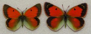 Бабочки желтушки Таджикистана - Colias regia