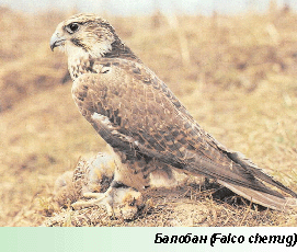 Балобан
