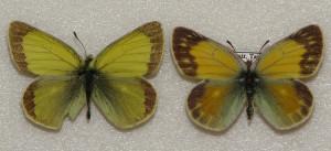 Бабочки желтушки Таджикистана - Желтушка Марко Поло (лат. Colias marcopolo)