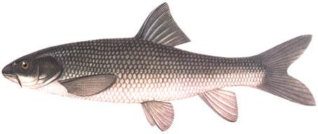Рыбы Таджикистана - самаркандская храмуля