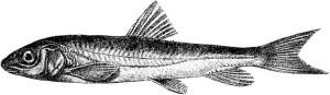 Лжеосман (Schizopygopsis stoliczkai)
