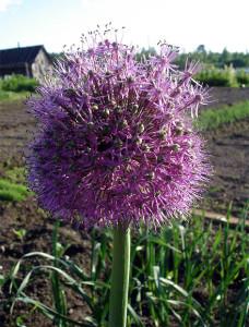 Лук стебельчатый - Allium stipitatum Regel.