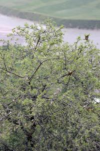 Розоцветные растения Таджикистана - Миндаль Вавилова (Amygdalus vavilovii)