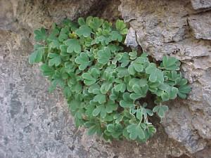 Розоцветные растения Таджикистана - Мозолесемянница деревянистая (Tylosperma lignosa)