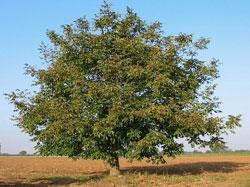 Грецкий орех (Juglans regia) - Ореховые растения Таджикистана