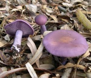 Рядовка фиолетовая (лат. Lepista nuda)