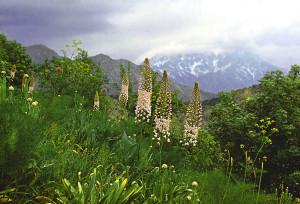 Эремурусы Таджикистана - Эремурус Эчисона (Eremurus aitchisonii)