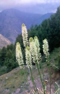 Эремурусы Таджикистана - Эремурус Кауфманна (Eremurus kaufmannii)