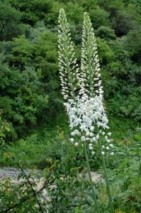 Эремурусы Таджикистана - Эремурус мощный (Eremurus robustus)