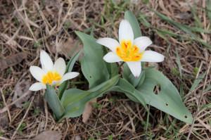 Тюльпан Кауфмана (Tulipa kaufmanniana)